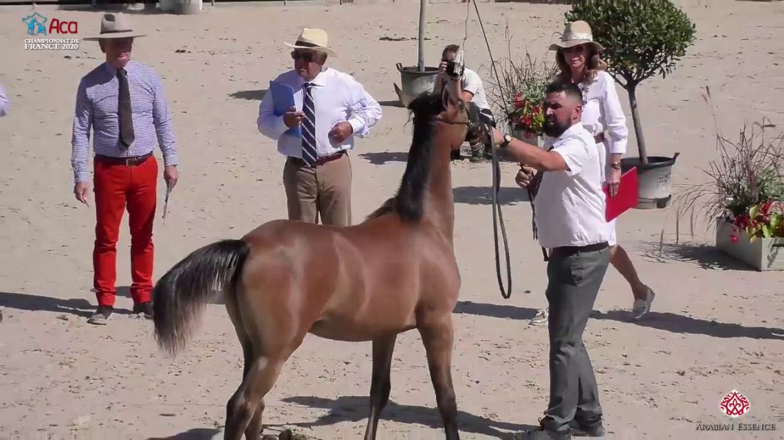 N 69 KAMAL IBN STYX   2020 Vichy   Championnat de France du Cheval Arabe   Colt Foals Championship C