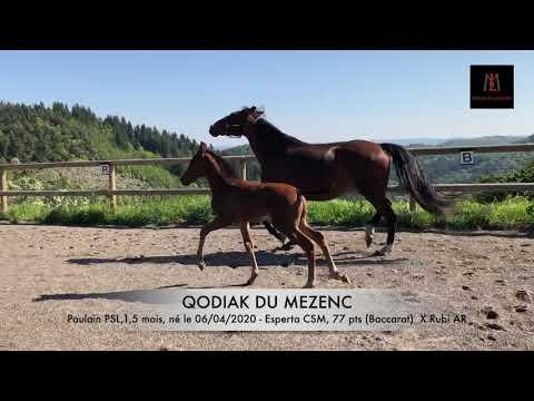 Qodiak du Mezenc, mai 2020, poulain lusitanien PP par Rubi AR, né le 6 avril 2020