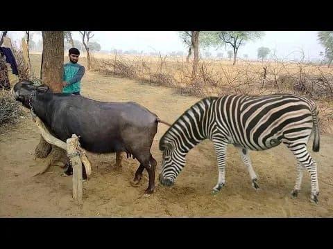 Réunion de zèbre avec la compilation de réunions de chevaux de buffle Accouplement d'animaux d'élevage de zèbres ||  Planète sauvage