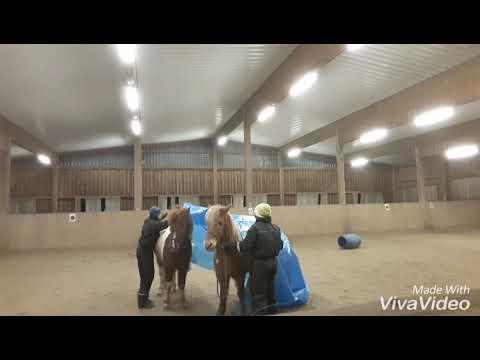 funny icelandic horse fail