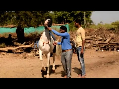 formation de danse du cheval marwari ||  cheval marwari ||  dressage de chevaux ||  danse du cheval