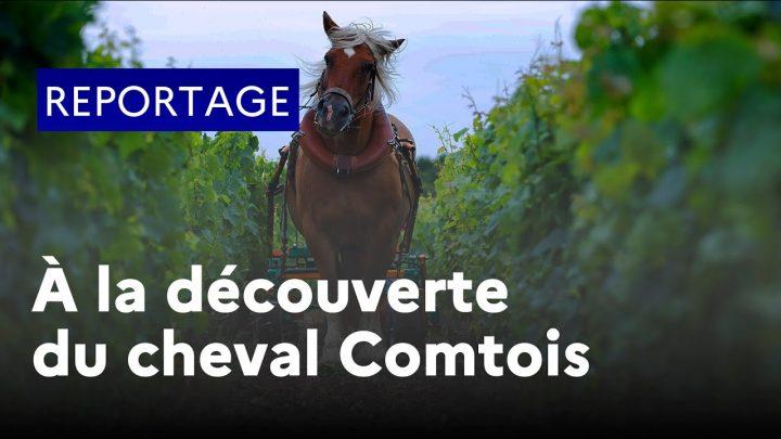 À la découverte du cheval de trait comtois
