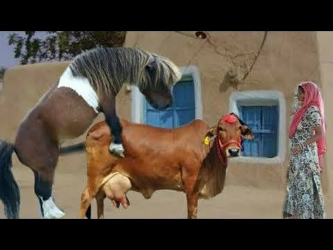 Accouplement d'animaux |  accouplement d'animaux différents accouplement d'âne | accouplement de chevaux | #horsesmating | accouplement proche du cheval