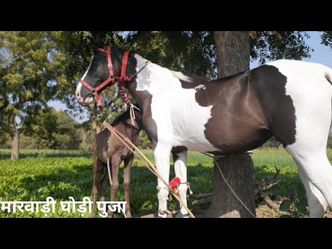 Cheval Marwari ||  मारवाड़ी घोड़ी पुजा ||