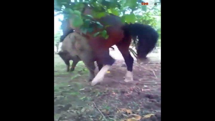 Crazy Horse amour et accouplement avec cochon – Cheval rencontre cochon et temps de jeu