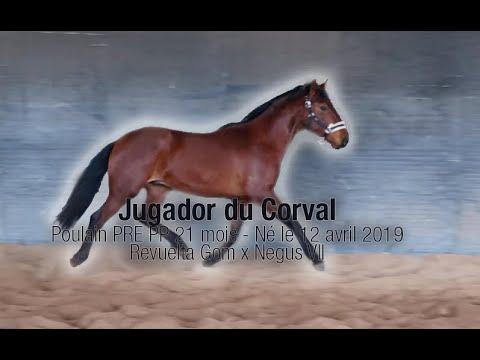 Jugador du Corval – Poulain – Male PRE PP – bai – 21 mois – Né le 12 avril 2019