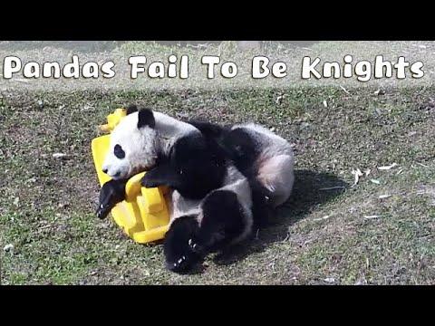 Les pandas «ivres» ne parviennent pas à conquérir le cheval jouet |  iPanda