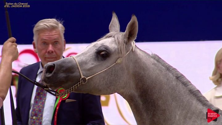 N.24 ISSAN RAJIA – Salon du Cheval d'El Jadida classe A show – Yearling Fillies (Classe 1B)