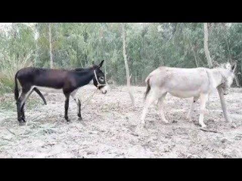Rencontre âne ||  Faune ||  Réunion de chèvres || Première réunion d'âne