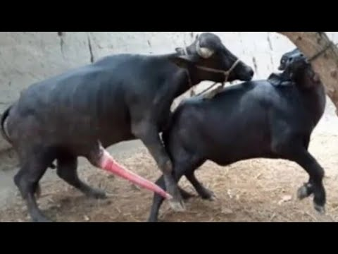 buffalo meeting first time full hot video and horse meeting video cow meeting video