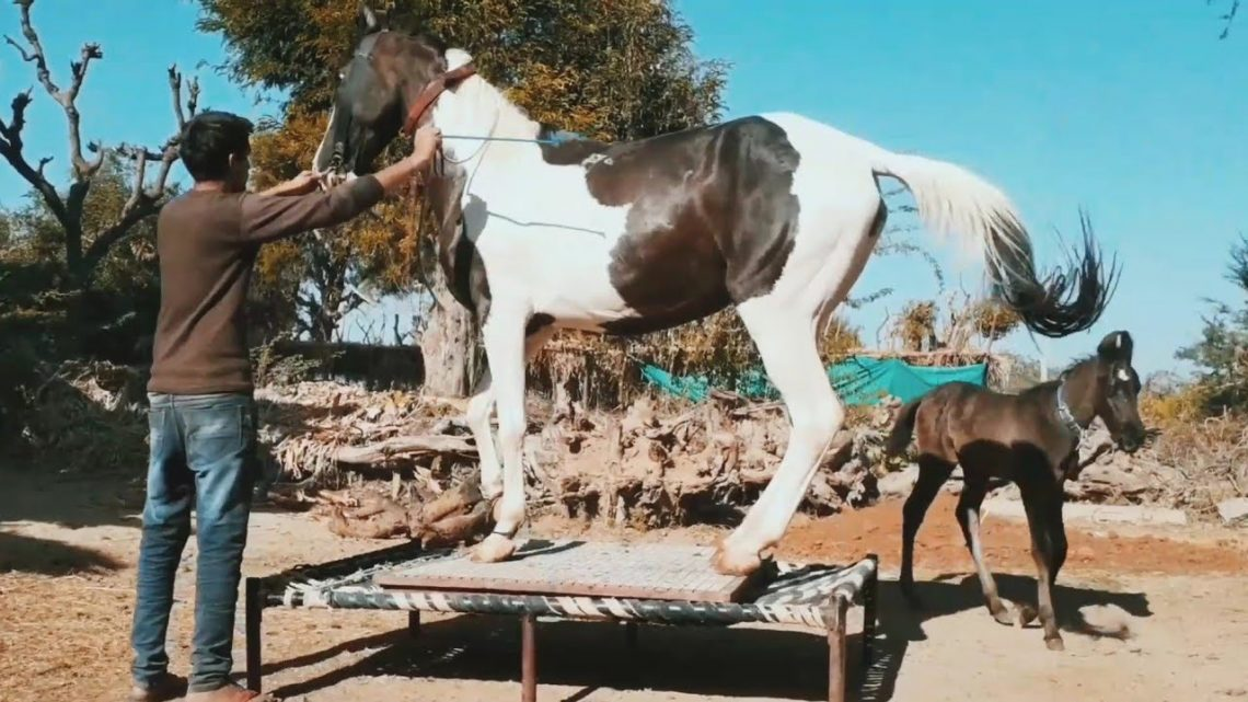 formation de danse du cheval marwari ||  cheval marwari ||  dressage de chevaux ||  danse du cheval